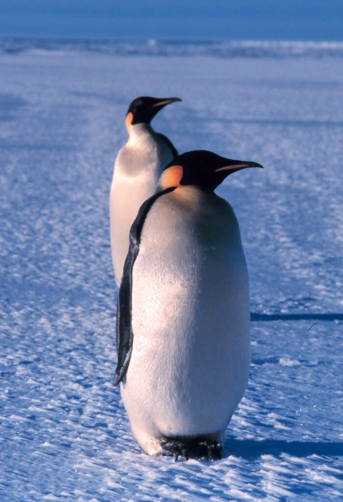 """The image """"http://www.teachersnetwork.org/readysettech/skalet/Emperor_penguin.jpg"""" cannot be displayed, because it contains errors."""